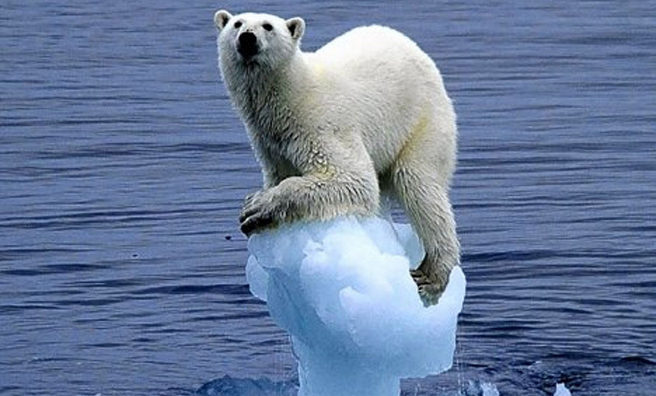 Polar Bear Ice Global Warming — Voz Abierta